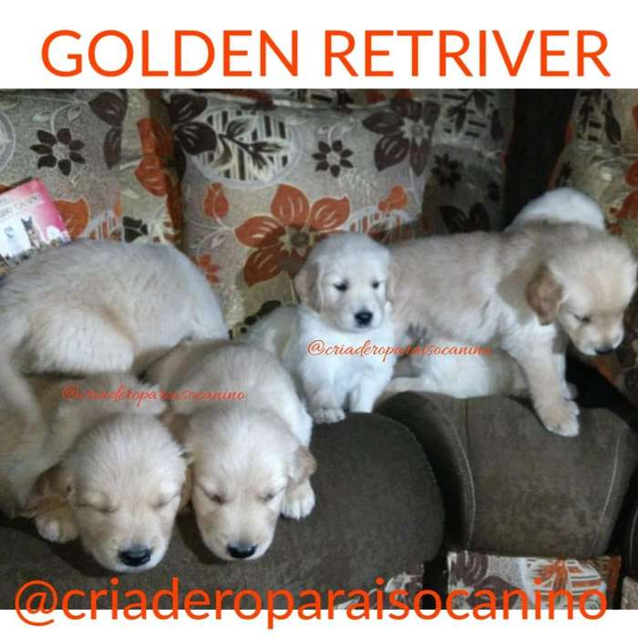 Golden Retriver Cachorritos