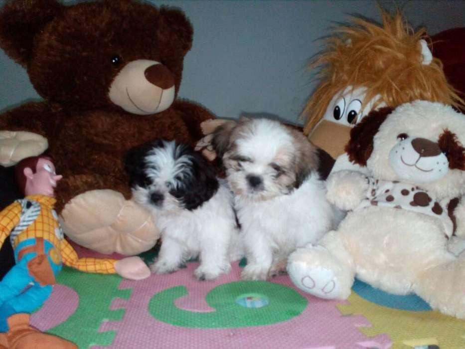 Adorables Cachorros Raza Shitzu