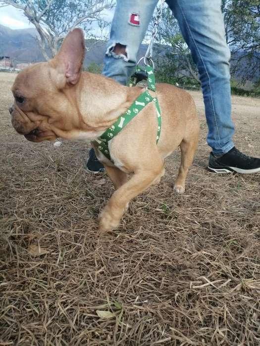 Bulldog Francés Red Fawn para Montas