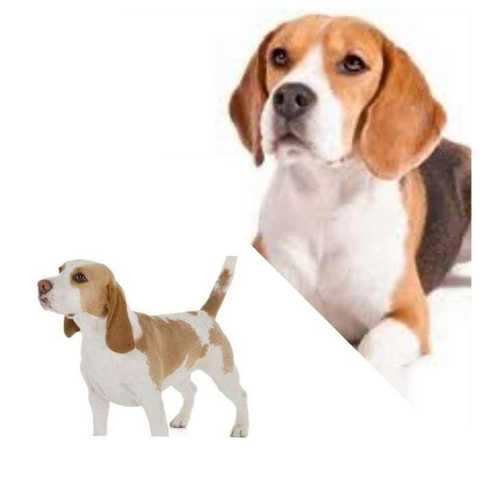 Busco <strong>beagle</strong> para Monta
