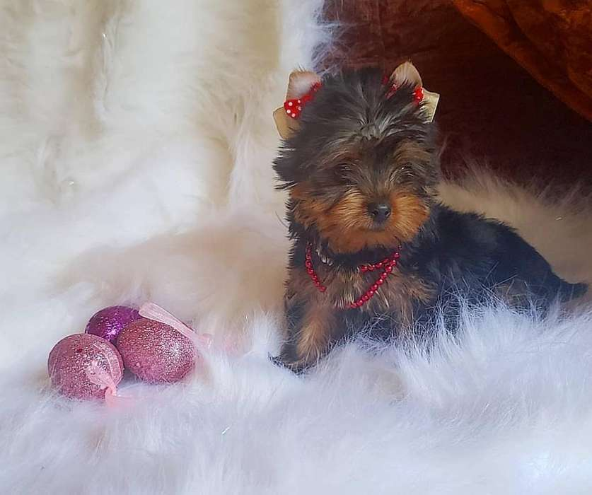 Yorkshire <strong>terrier</strong> Minii Hembra