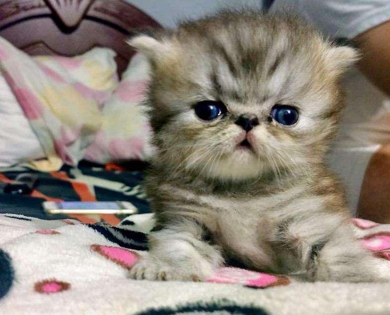 Hermoso Gato Persa Excelente Genetica