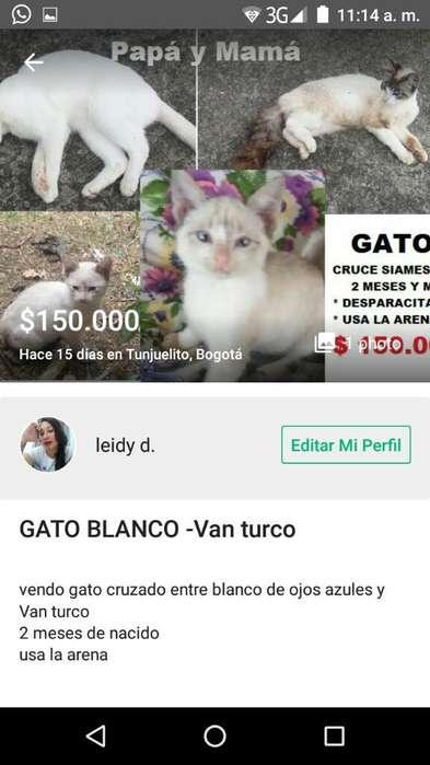 Gato Siames Blanco