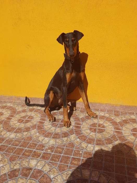 Vendo Cachorro Doberman