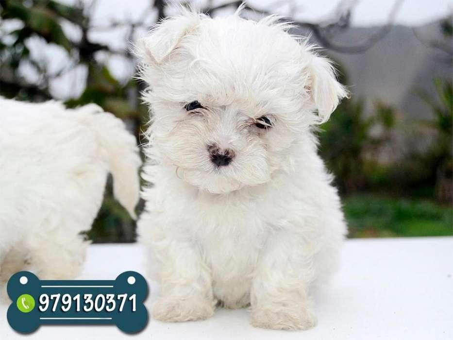 Bellos Cachorros Bichon Maltes *ANTIALÉRGICOS NO BOTAN PELO* Garantía de Raza y Salud
