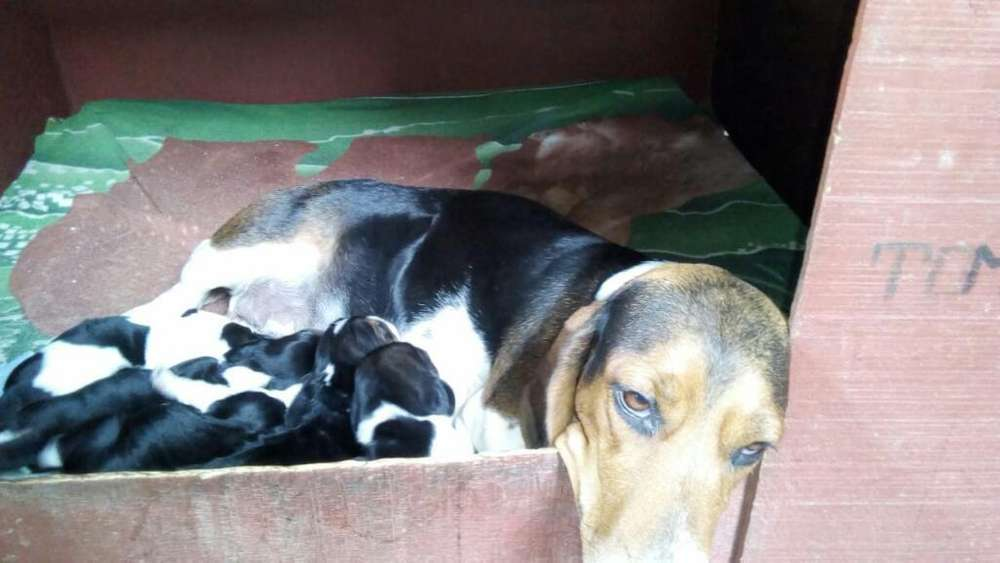 Adorables <strong>cachorro</strong>s Basset Hound