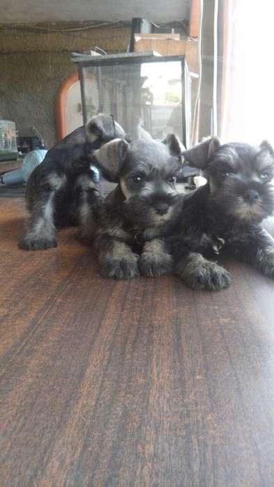 tiernos cachorritos schnauzer listo para su entrega