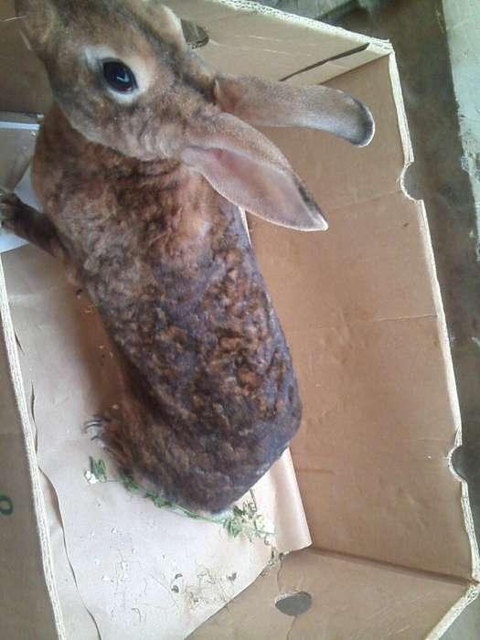 Se Vende Conejo Rex