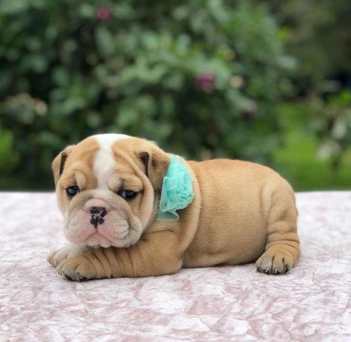 1Feria del <strong>bulldog</strong>s Cachorritos espectaculares para la venta del criadero NUTIBARA <strong>bulldog</strong>S