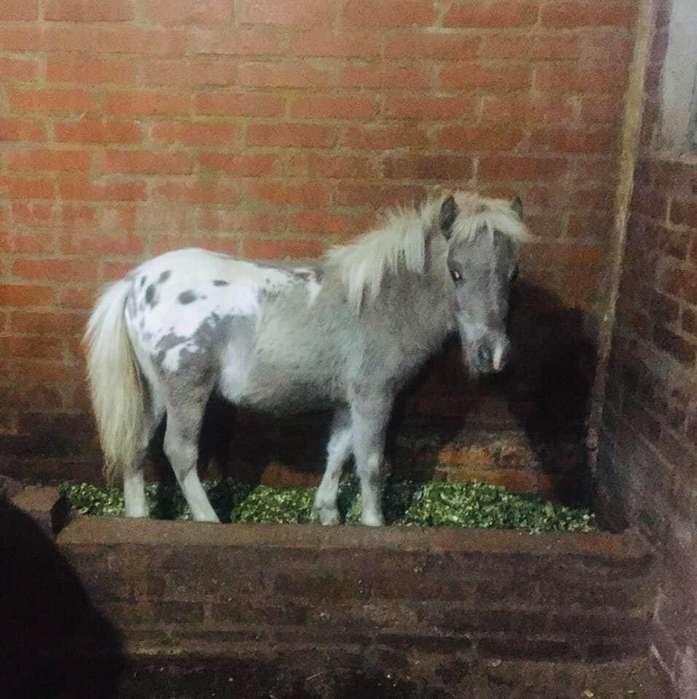 Caballito Reproductor Pony Appalossa