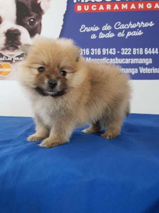 Venta de <strong>cachorro</strong>s Pomeranias Lulu Minis