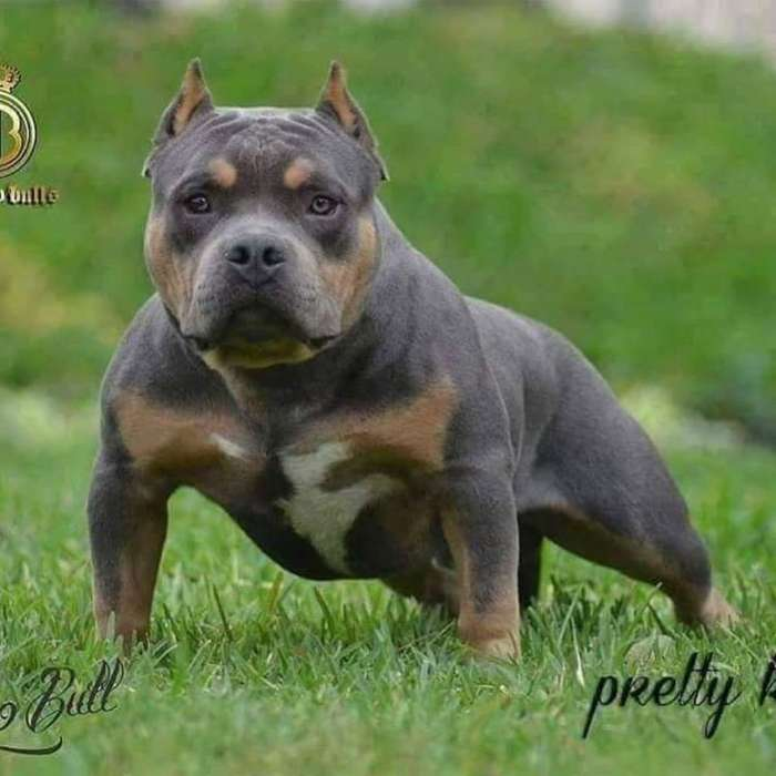 <strong>cachorro</strong>s American Bully