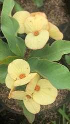 Corona de Cristo, Euphorbia milii, Flor grande