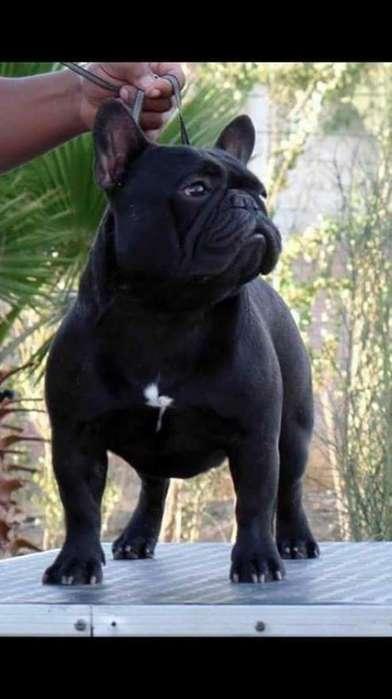Bulldog Frances Campeon Serivicio Monta