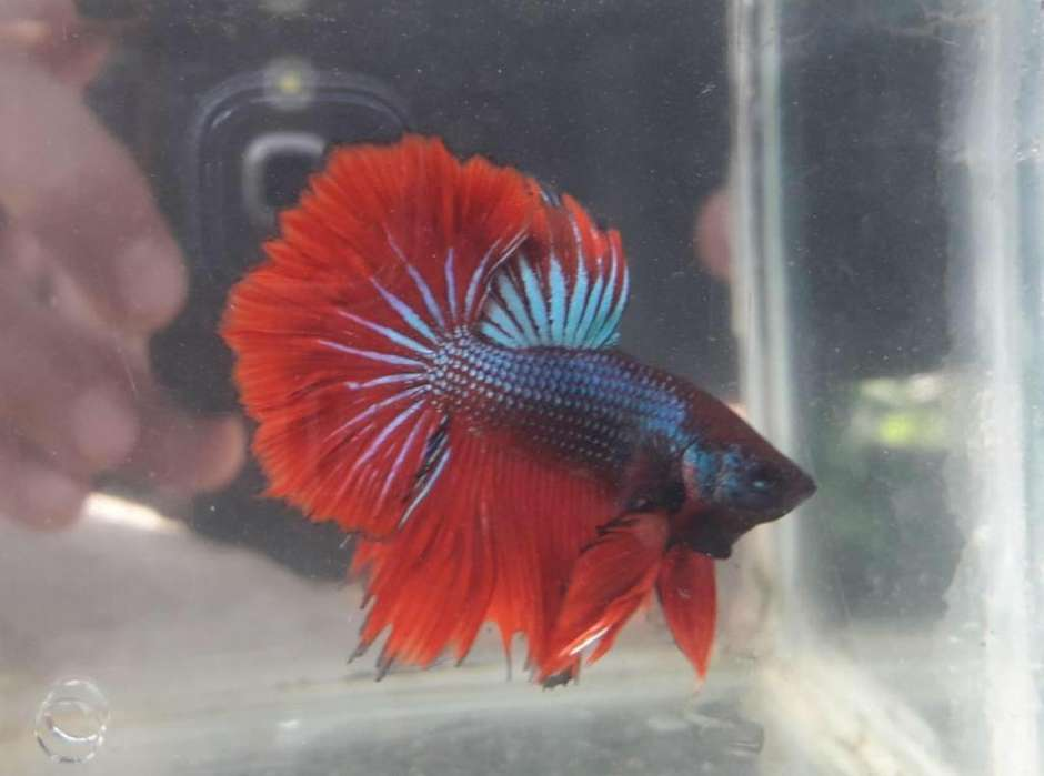 Pez Betta Disponible