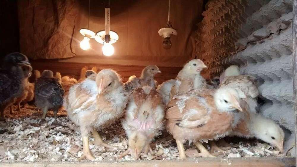 Venta Pollos Peruanos de 21 Días