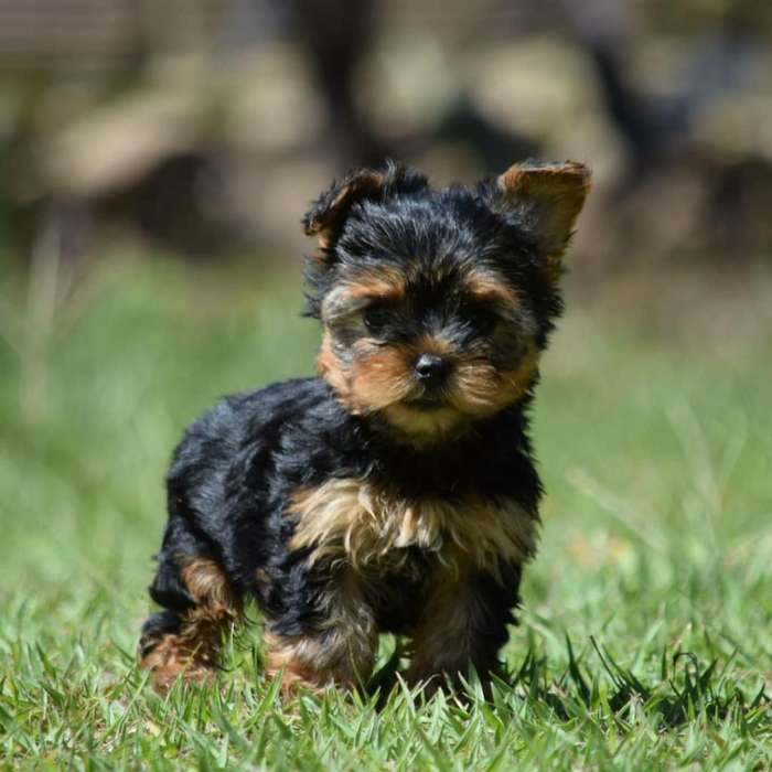 Yorkshire Terrier O Yorkies Disponibles