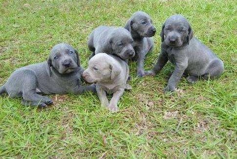 braco de weimar cachorros gris plata gris raton weimaraner