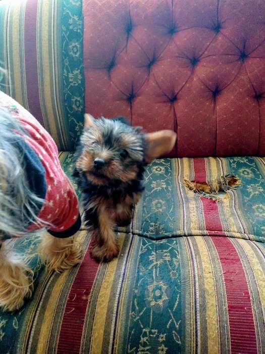 Hermosa Y Tierna Yorkshire <strong>terrier</strong> Mini