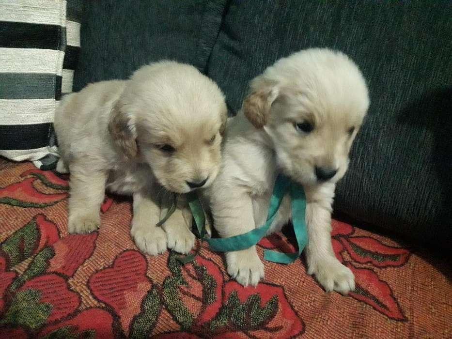Hermosos Cachorros Golden Retriever puros!!!