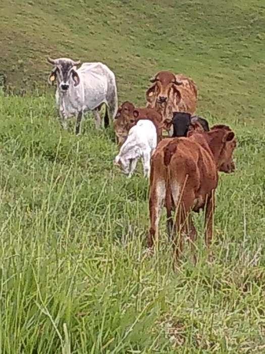 Vendo Lote de Vacas Gyr Y F1