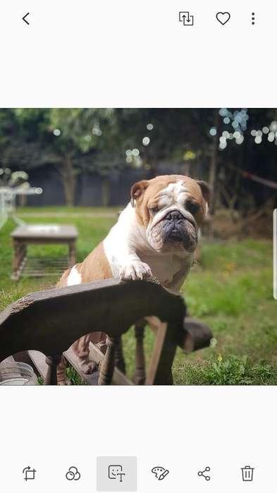<strong>bulldog</strong> Ingles Adultas Disponibles