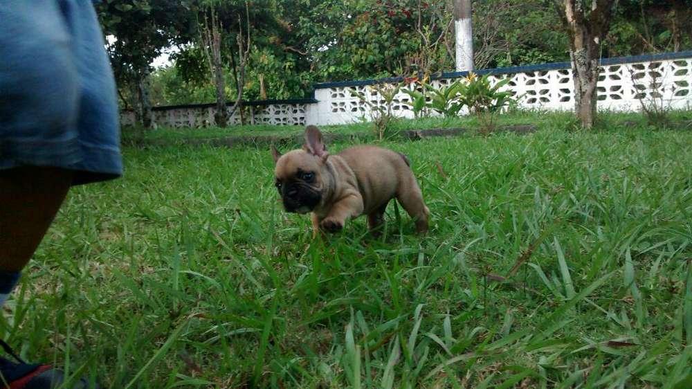 Hermoso <strong>bulldog</strong> Frances