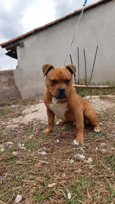 Americanbully