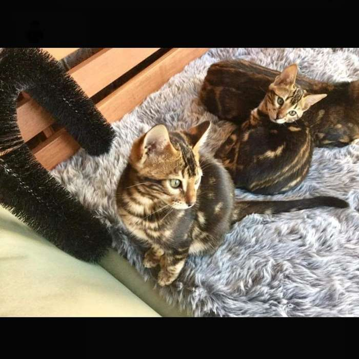 Gatos Bengali Apta para Cria