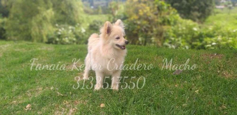 Pomerania Spitz Hermoso Cachorrito