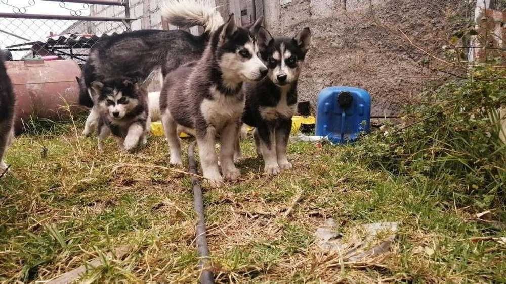 En venta Cachorros Husky