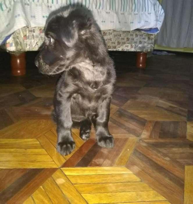 Perrita en Adopción Color Negro Amigable