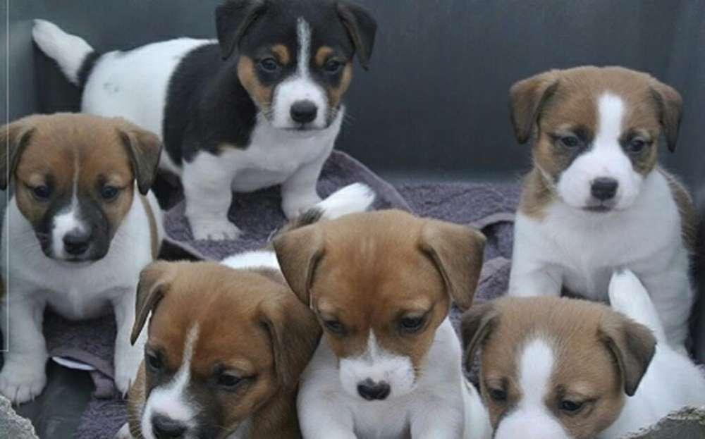 Cachorros Jack Ruseell