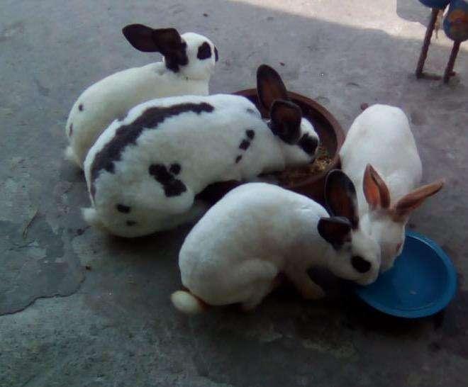 Conejos Rex Antialergico 3182287984 Alex