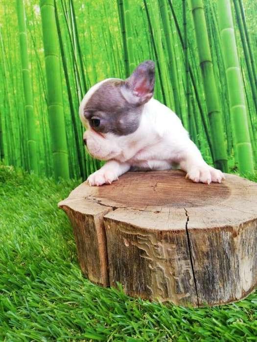 <strong>bulldog</strong> Frances Pied Merle Macho Criadero El Arca del Frances