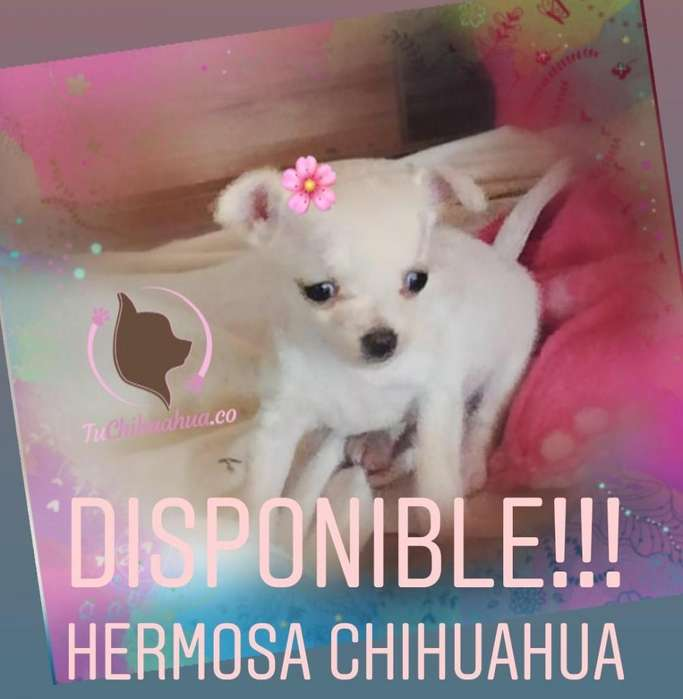 GARANTIZADA CHIHUAHUA PURA BOLSILLERA
