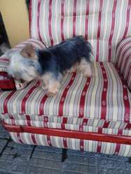 Ganga Vendo Yorkshire Terrier