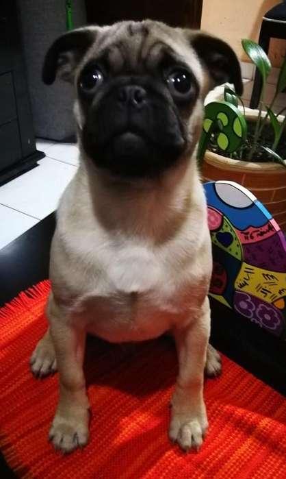 Vendo hermoso <strong>cachorro</strong> Pug