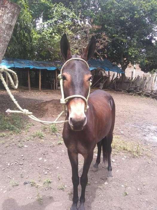 Mula pastada en Guacari