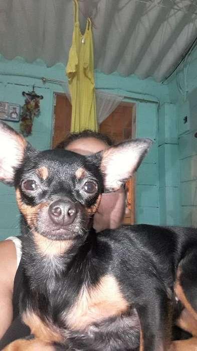 Chihuahua para Monta Guayaquil