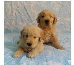 tiernos cachorros golden inteligente