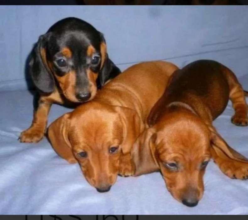 Cachorros Salchichas Hembras en 80 Dola