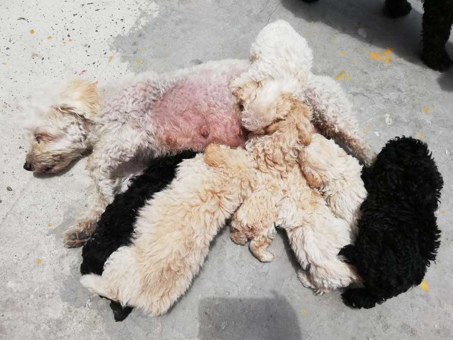 Vendo <strong>cachorro</strong>s Free Poodle