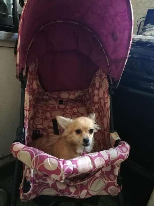 Chihuahua Hembra Pelo Largo 8 Mesos