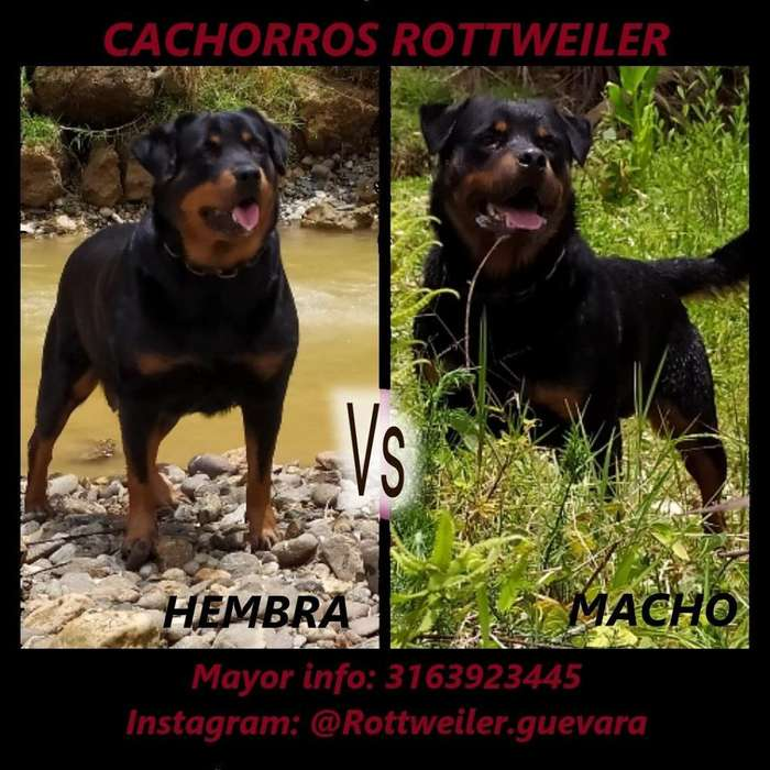 Cachorros <strong>rottweiler</strong> TOP (Padre Pedigree)