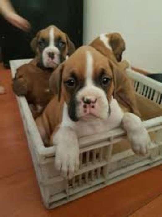 Vendo Hermoso Cachorro Boxer