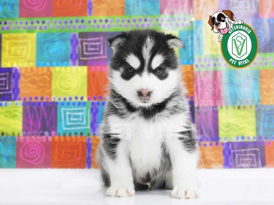 <strong>cachorro</strong>S HERMOSOS SIBERIANO HUSKY EN PET VITAL !!!