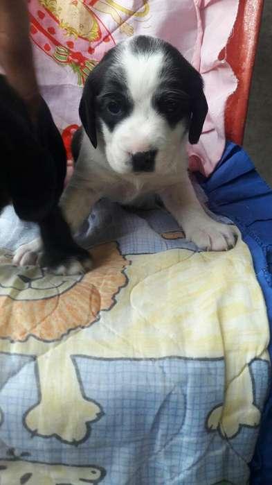 en Adopcion Cruze de Cocker con <strong>beagle</strong>