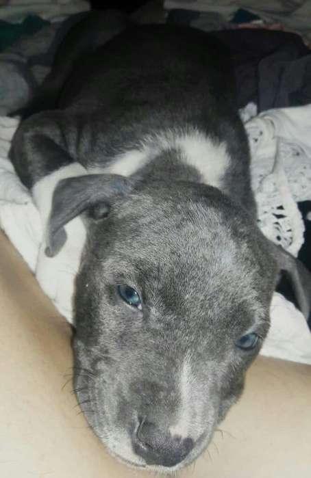 Pitbull Blue Nouse