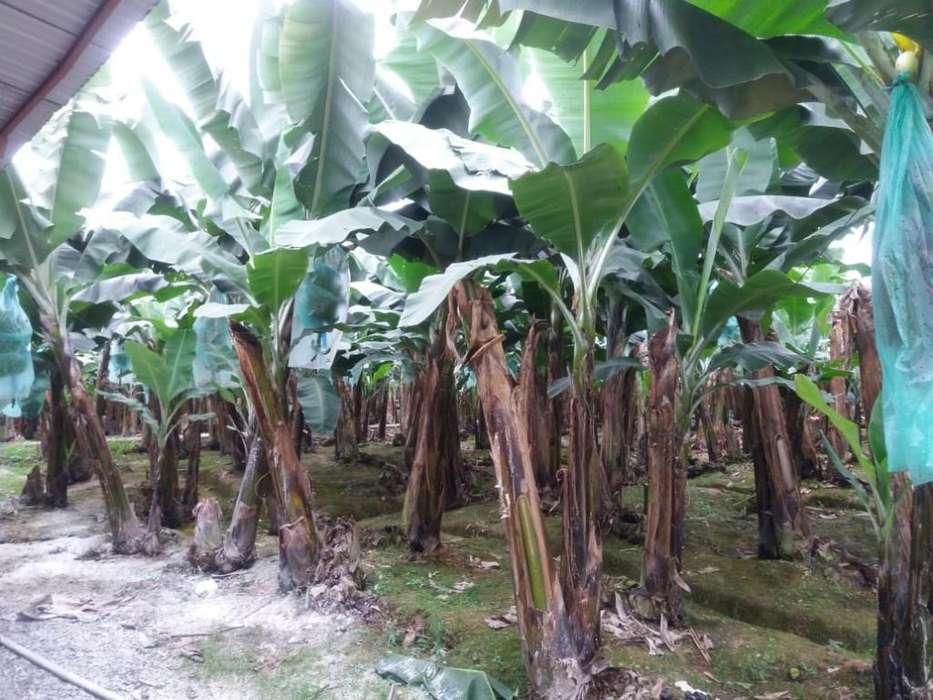 Venta de Bananera Cacaotera